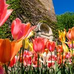tulips - Carillon Tower
